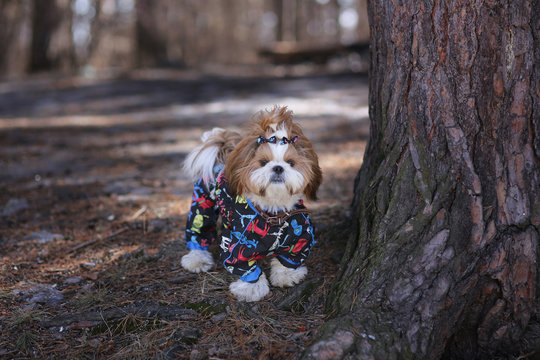 Cute puppy in overalls for a walk in the forest in the spring