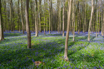 Blue Bell Forest, a carpet of blue bell flowers in a forest setting