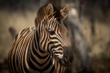 Foto auf Acrylglas Zebra Zebra