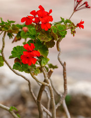 Red geranium flowers on his bush