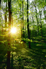 Papiers peints Forets Green forest in spring with bright sun shining through the trees