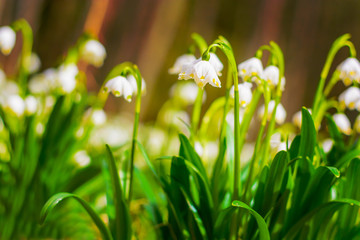 Spring snowflake flowers Leucojum vernum blooming in sunset. Early spring snowflake flowers in march. First flowers in springtime. Closeup of white spring snowflake in the forest.