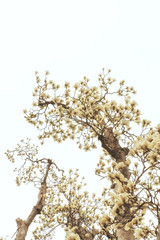 Branch with magnolia flowers