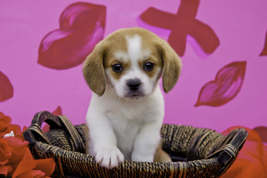 Beaglier Puppy in a Wicker Basket Surrounded by Red Roses in Front of a Lip and XO Valentine's Day Print Background