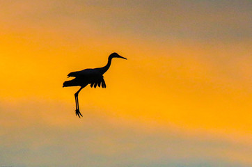 Sandhill crane in flight at sunset with colorful clouds at Bosque del Apache National Wildlife Refuge, San Antonio, New Mexico