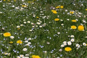 daisy and dandelion