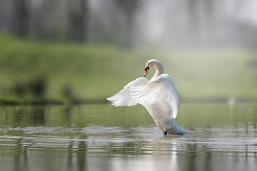 Photo sur Toile Cygne Swan