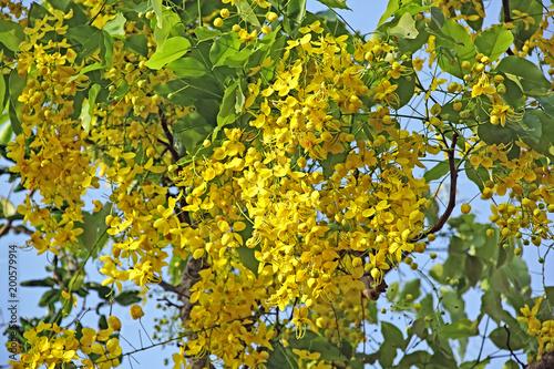 National flower of thailand the golden shower or cassia fistula national flower of thailand the golden shower or cassia fistula bloom in tree mightylinksfo