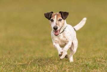 small dog is running across the meadow in spring - Jack Russell Terrier 10 years old