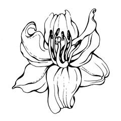 Graphic of lilly  flower. Realistic illustration of lilium. Black and white outline illustration, hand drawn work. Isolated on white background. For pattern, frame, border.