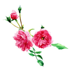Blooming shrub roses painted in watercolor. Botanical illustration isolated on white background.