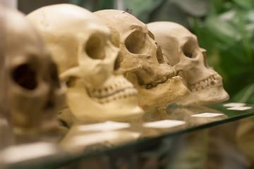 Human skulls standing on the glass shelf.