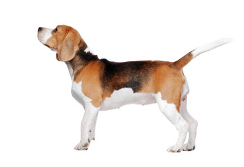 Side view picture of an adult  beagle dog