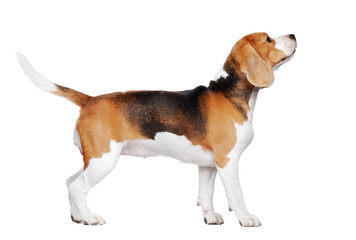 Side view picture of a beagle walking in a white studio