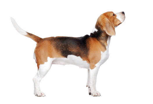 Beagle dog trained to stand for a dog show