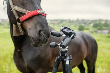 Black country horse in ragged harness researching the tripod for the camera. Russia.