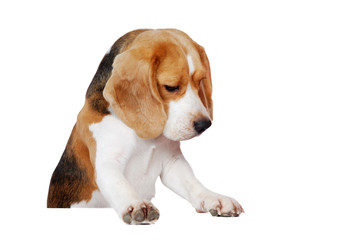 Beagle standing on blank board looking down to the copy space area