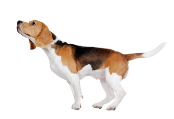 Full length side view of a standing beagle sniffing the air