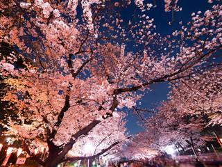 Foto op Canvas Kersenbloesem 上野公園の夜桜