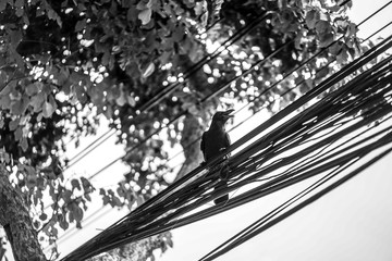 crow hang on to electric cable