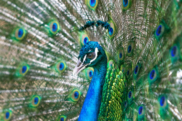 Beautiful male peacock with its tail opened up.