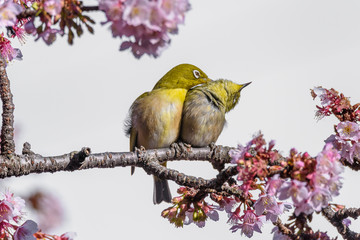 Yellow and green birds (Japanese zosterops) couple cuddling in pink cherry bloom (white eyes)