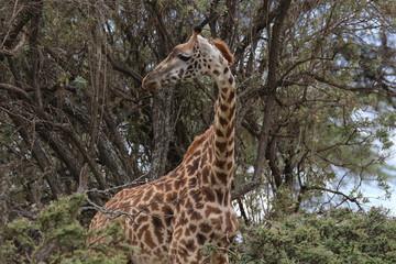 Girafe Massaï -  Lac Naivasha - Kenya - Afrique - Safari photo