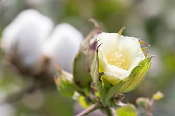 Macro of Yellow Bloom of Cotton Boll