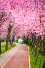 Wall Murals Candy pink Beautiful landscape with a park alley covered with branches filled with pink flowers in springtime in Timisoara, Timis County, Romania