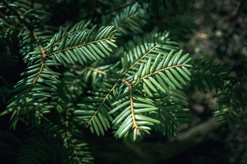 Fir tree branch closeup macro background