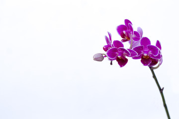 Beautiful orchids with white background