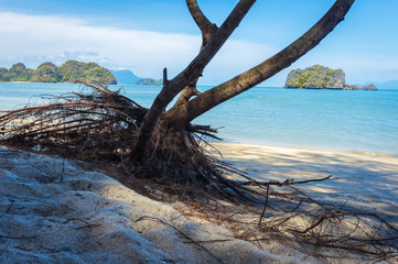 Tree with aerial roots on the tropical beach, Malaysia