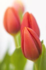 Three red tulips in garden