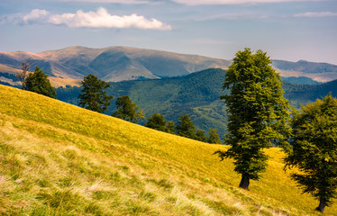 tree on the grassy hillside. Svydovets mountain ridge in the distance. beautiful summer nature scenery of Carpathian mountains, Ukraine