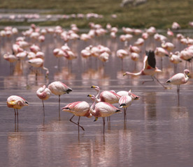Flamingos on the Colorado lagoon, Altiplano, Bolivia