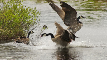 Male geese fighting for the attention of a female during mating season in early Spring