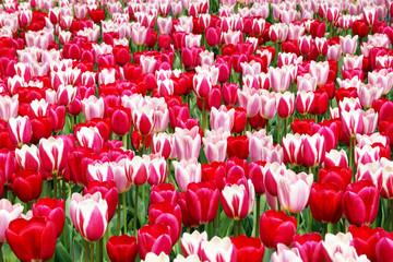 Tulips, Tulpen, Tulpenbeet, rot und pink, bildfüllend