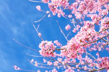 Wild Himalayan cherry blooming (Prunus cerasoides) on blue sky
