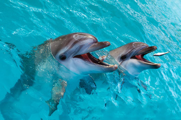 A group of cute smart dolphins eating fish in the ocean