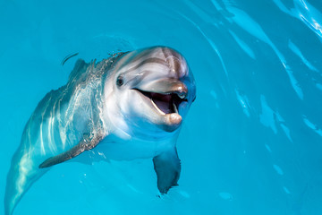 Foto op Plexiglas Dolfijn Dolphin portrait while looking at you with open mouth