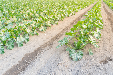 Row of organic zucchini growing on local farm at Kent, Washington, USA. Summer squash bed planted in neat rows. Cultivation of young courgette. Agriculture background