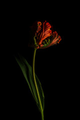 Parrot tulip against plain background, orange