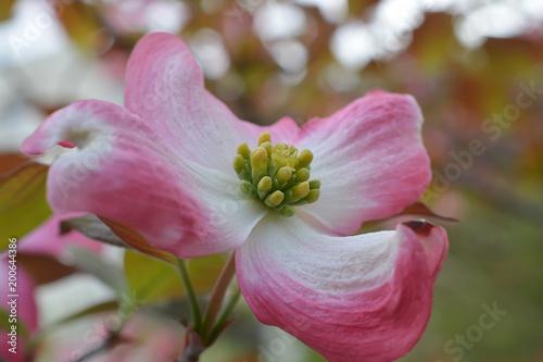 flowering dogwood cornus florida fotolia com の ストック写真と