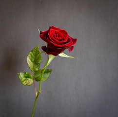 beautiful  single dark red  rose on dark background