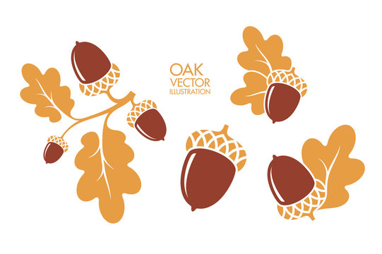 Oak. Branch. Isolated acorns on white background. Vector illustration