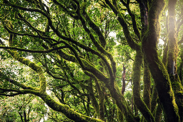 Trees covered with moss in Anaga forests, Tenerife