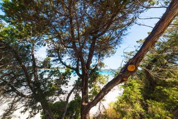 Pine tree by the sea in Costa Smeralda