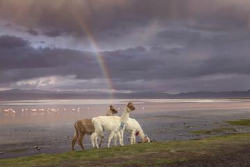 Llamas at the Colorada lagoon, Altiplano, Bolivia