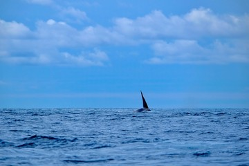 The tallest dorsal fin in the ocean belongs to the male orca, seen here near Pico island