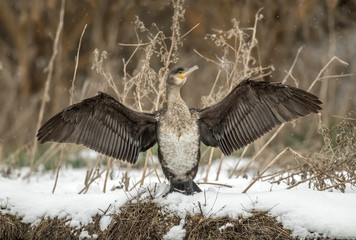 Cormorant standing at the edge of a pond in the snow drying its wings
